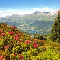 Bergsommer Alpenrosen